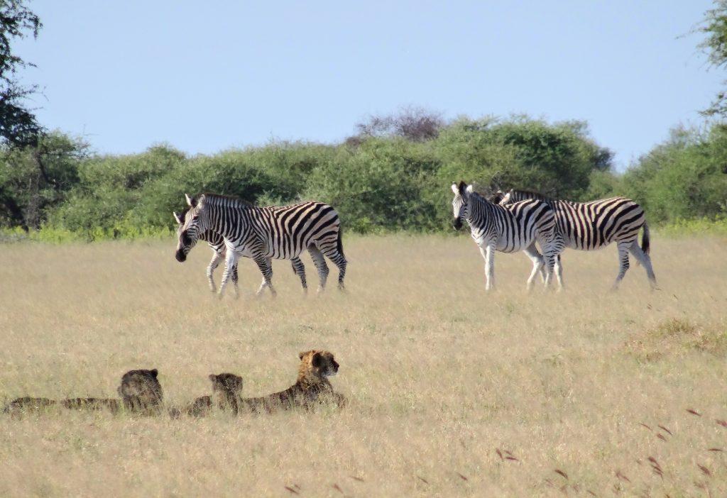 Welches Zebra soll es sein?