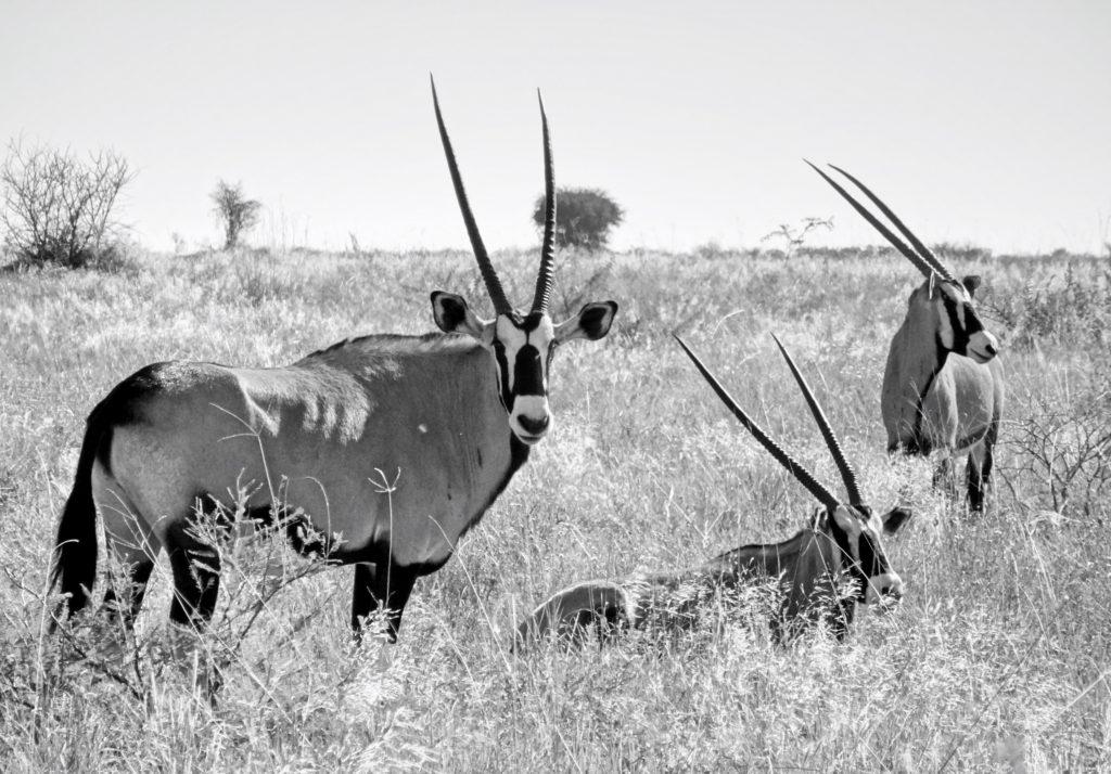 Wunderschöne Oryx - Antilopen