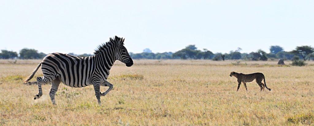 Zebra vs. Gepard