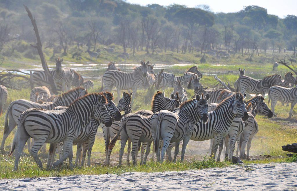 Zebras, Zebras und nochmals Zebras