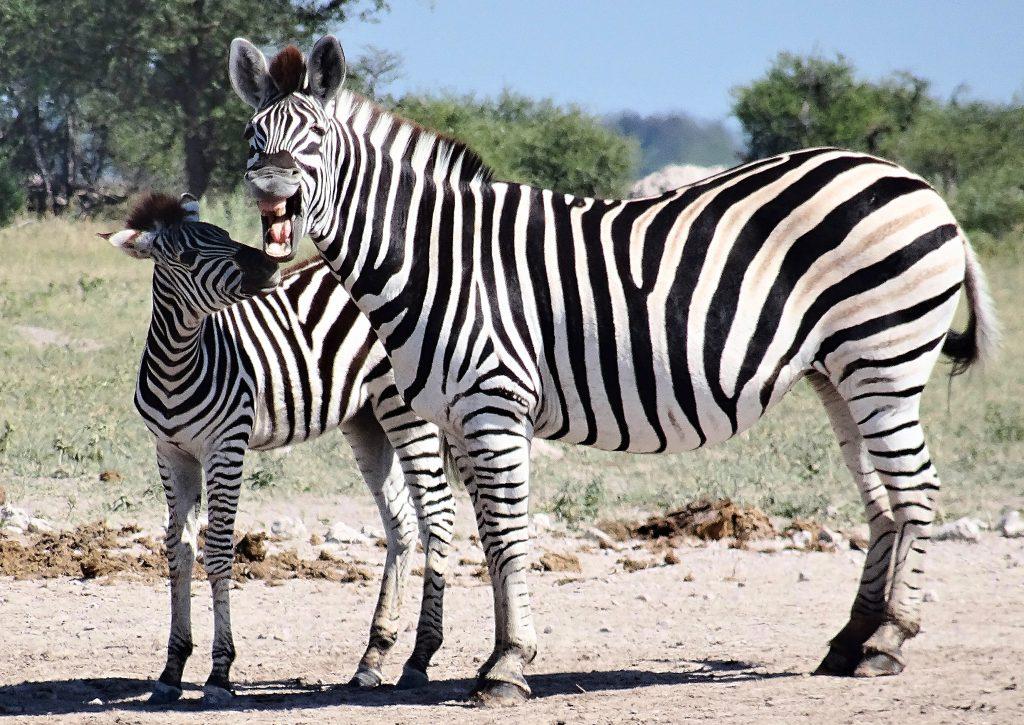 Zebras feuern den Kampf an